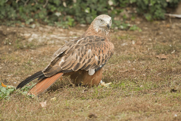 Red Kite perched on the ground