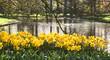Pond with yellow daffodils