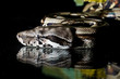 Python snake reptile close-up macro portrait on black