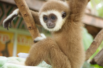 Young Gibbon on the branch