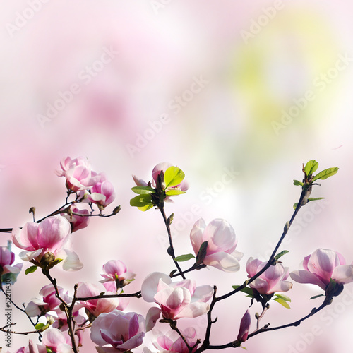pink magnolia flower on white background