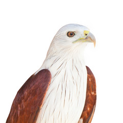 Eagle isolated on white