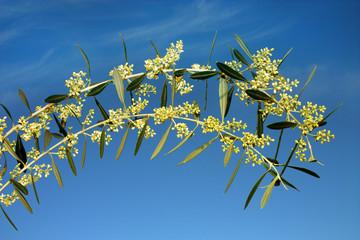 Ramoscelli di ulivo fioriti