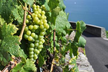 Vineyards in Lavaux region against Geneva lake, Switzerland