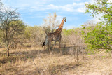 Wild Reticulated Giraffe  and African landscape poster