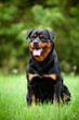 rottweiler dog sitting outdoors