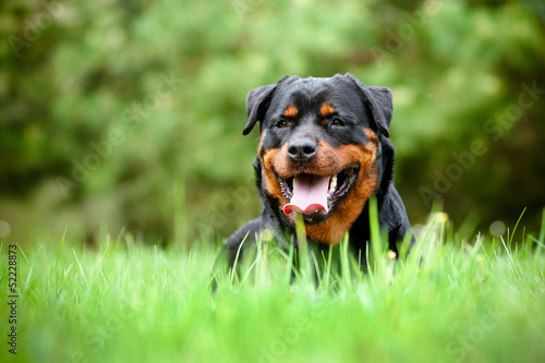 rottweiler dog resting outdoors