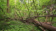 fallen tree in the wood.  Stabilized  video.