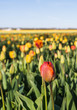 Various colored tulips flowering in a field