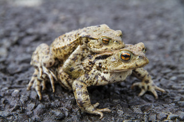 Mating Common or European Toads (Bufo bufo)