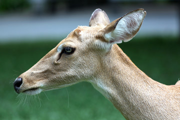 The side of the head deer.