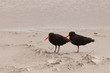 Two Oystercatchers Haematopus unicolor on beach