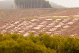Vast clearcut Eucalyptus forest for timber harvest poster