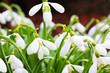 Spring snowdrops close up