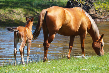 Mare with a young foal in a meadow near the river