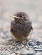 Flightless nestling of blackbird (Turdus merula)