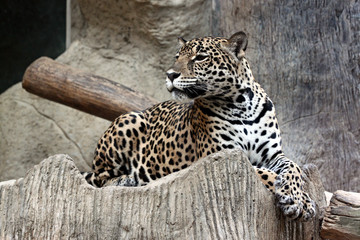 Side of leopard.