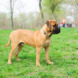 junior puppy bullmastiff