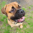 bullmastiff dog portrait
