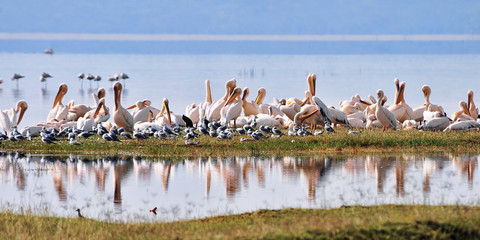 Great White Pelican in Nakuru lake, Kenya