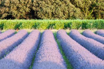 alignement vignes et champ de lavande