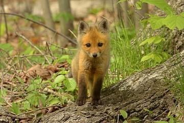 Red Fox Kit