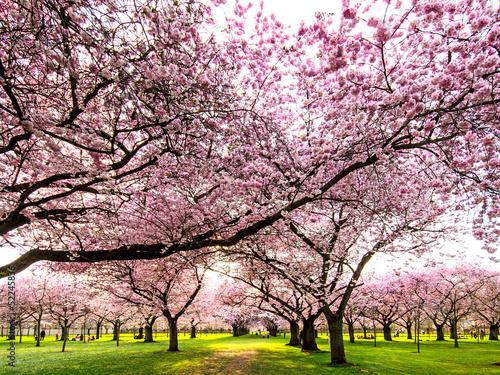 Farbe des Frühlings: Garten mit Japanischen Kirschblüten