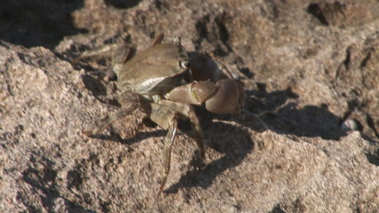 HD1080i Little Crab. Footage of Majorca in Spain