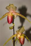Fototapety Paphiopedilum orchid