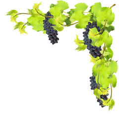 Fresh leaves of grape on white background