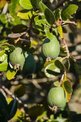 feijoa shrub with ripe fruit