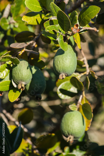 feijoa shrub with ripe fruit