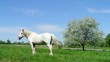 White Horse On A Blue Sky and Apple tree with white blossoms
