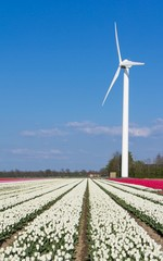 Windmill in front of a white tulip field