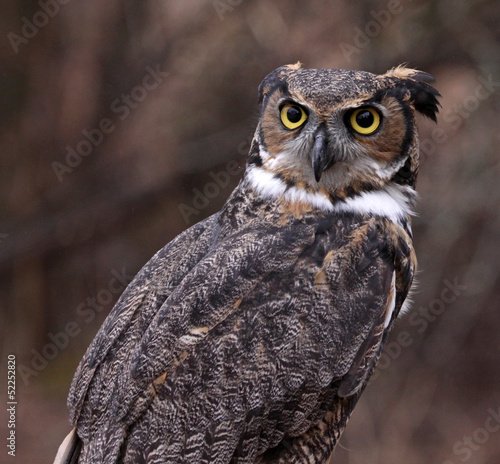 Concerned Great Horned Owl (Bubo virginianus)