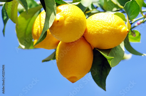 Ripe lemons on lemon tree