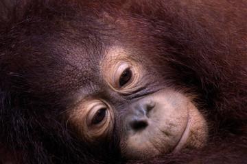 Melancholy Orangutan