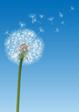 vector dandelion on blue - 52256451