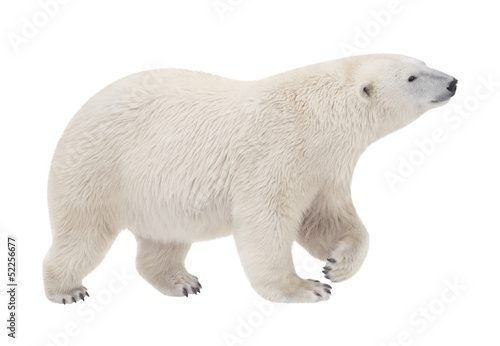 Aluminium Ijsbeer bear walking on a white background