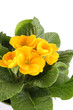 canvas print picture - Yellow Primrose