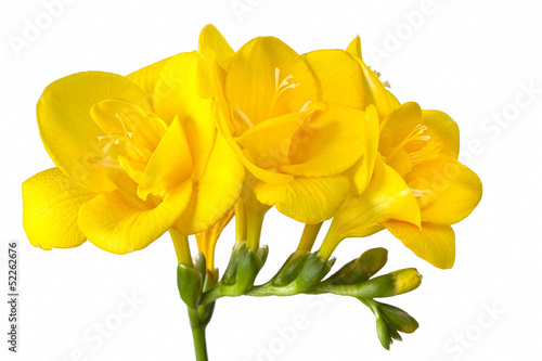 Bright yellow freesias on white