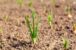 Row of onions growing in soil