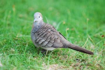 oiseau mauritien