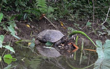 Black Giant Tortoise (Manouria emys phayrei)