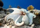 Naklejka posing octopus