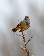 Singing Bluethroat on a branch