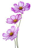 Fototapety cosmos flower