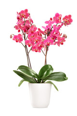 Pink orchid in a white pot with many flowers