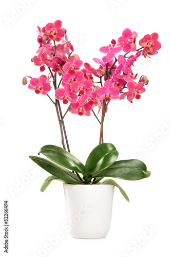 Keuken foto achterwand Orchidee Pink orchid in a white pot with many flowers