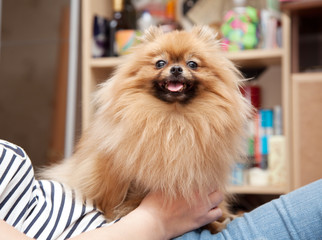 cute Pomeranian dog sits in the hands of the mistress